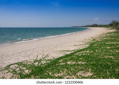 Ipomoea pes-caprae on white sand beach.