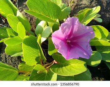 ipomoea pes-caprae. purple tropical flowers above roks in beach