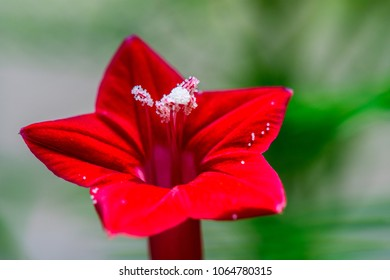 Ipomoea quamoclit (Cypress vine) ; red flower, look like star when fully blossoms, long, trumpet-shaped with five points. surrounding with long & small size leaves, similar fishbone. natural sunlight.