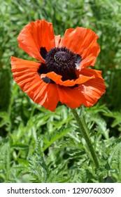 Iranian poppy - Latin name - Papaver bracteatum