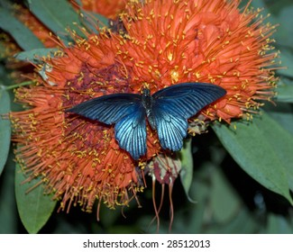Iridescent Blue Butterfly on Red Flowers