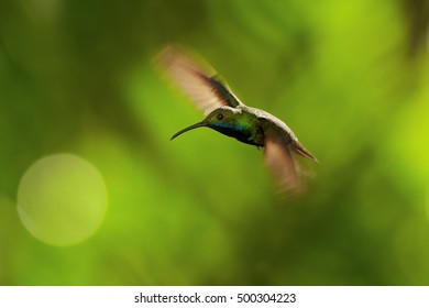 Iridescent blue-green, caribbean hummingbird, hovering in the air, male, Black-throated Mango, Anthracothorax nigricollis, Main Ridge Forest Reserve, Tobago island. Trinidad & Tobago.