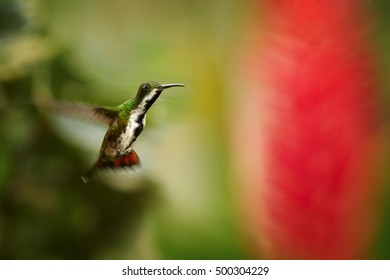 Iridescent blue-green, caribbean hummingbird, hovering next to red flower, female of Black-throated Mango, Anthracothorax nigricollis, Main Ridge Forest Reserve, Tobago island. Trinidad & Tobago.