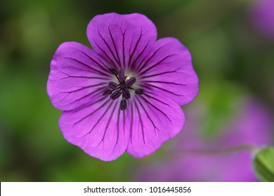 iridescent purple flower of geranium with a blurred green background