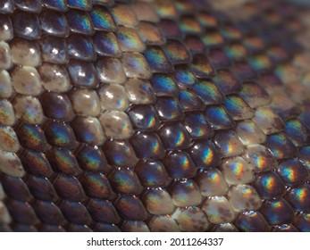 Iridescent rainbow colours on an Australian Woma Python's scales.