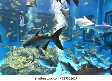 iridescent shark, mekong giant sutchi catfish (Pangasianodon hypophthalmus)