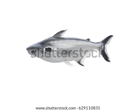 Black and white striped cat fish