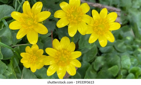 Iridescent sunny yellow spring wildflowers with foliage
