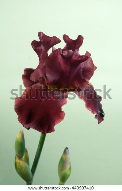 Iris Barbatus flower over light green background, closeup