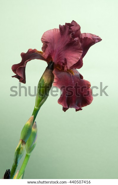 Iris Barbatus flower over light green background, closeup