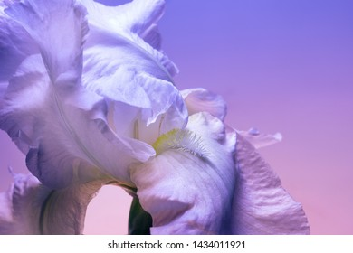 Iris bud closeup, blue shades, abstract floral background.