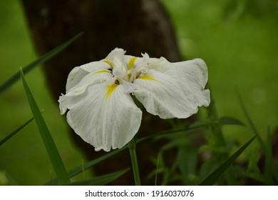 Iris encata ALTAISKAYA SNEGUROCHKA, breeder Dolganova Z.V.
