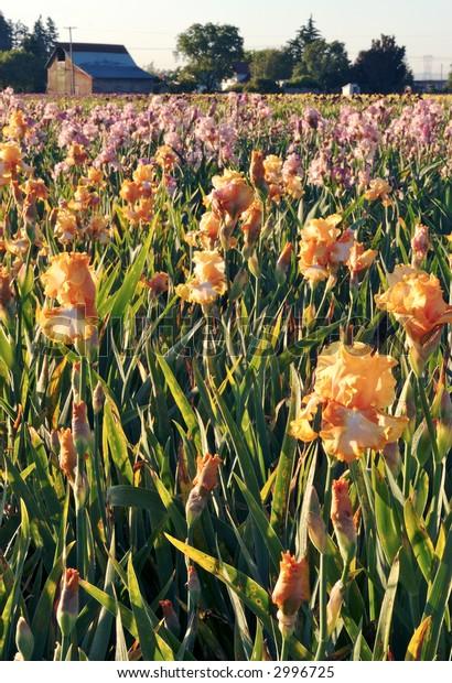 Iris Farm at Sunset