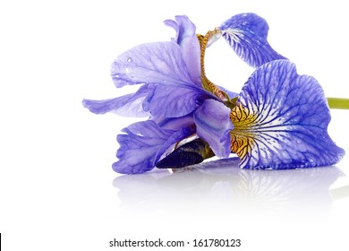 Iris flower. Blue iris. Petals of a  flower of an iris. Flower in dew drops. Flower petals in dew drops.