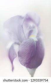 Iris flower (Iris hybrida) close up. Mild focus.