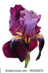 iris flower isolate on white background close-up