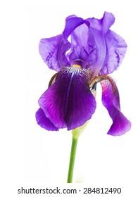 iris flower macro on a white background
