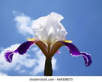 Iris flower on a blue sky
