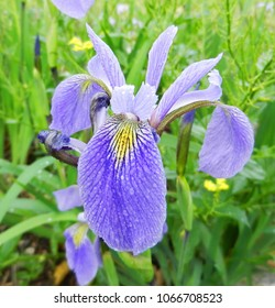 iris flower in spring time