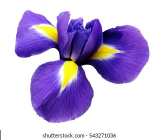 iris  flower. white isolated background with clipping path.  Closeup  no shadows. Nature.