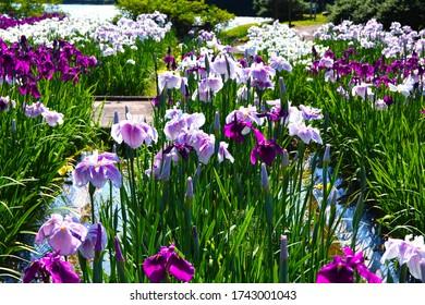 "Iris Flowers Blooming Beautifully in the Park of ""Monomiyama Sogokoen""; the Park Is in the City of ""Sanyo Onoda,"" Yamaguchi Prefecture, Japan"