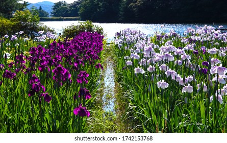 """Iris Flowers Blooming in the Sun by the Lake in the Park of """"Monomiyama Sogokoen,"""" which Is in the City of """"Sanyo Onoda,"""" Yamaguchi Prefecture, Japan"""