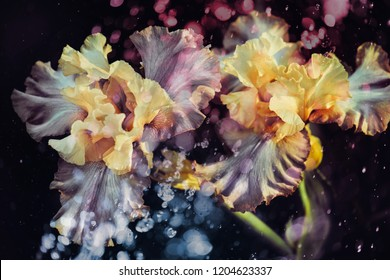 Iris flowers, dark background and light effects, abstraction.
