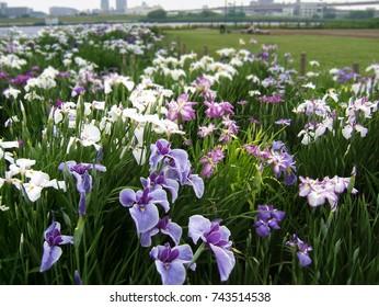 Iris Flowers in Horikiri Waterfront Park, Tokyo