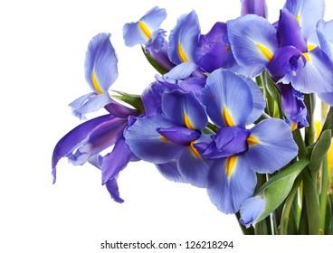 Iris flowers isolated on white