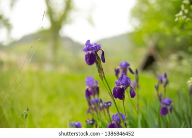 Iris Flowers in the nature