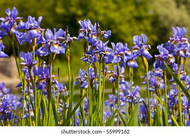 A lot of iris flowers in summer