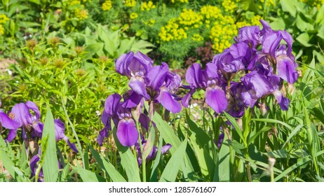 Iris Germanica, purple flowers and bud on stem at flowerbed closeup, selective focus, shalow DOF