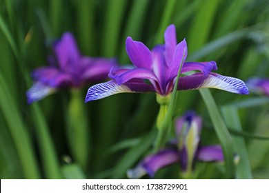 Iris graminea on blurred background.  Blue and violet flowers, almost hidden by narrow, grassy leaves, and a plum scented fragrance. It is cultivated as an ornamental plant. Rare plant.