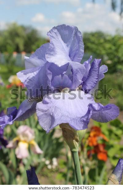 Iris mitolias blouse
