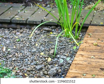 Iris plant on the gravel space and two perpendicular wooden pathways