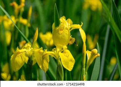 Iris pseudacorus bright yellow water flag flowers in bloom, beautiful flowering plant, green leaves