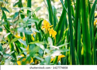 Iris pseudacorus, yellow flag, yellow iris, water flag