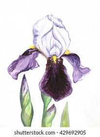 iris purple white flower painting watercolor