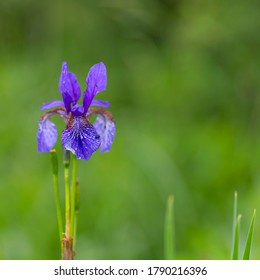 Iris sibirica (commonly known as Siberian iris or Siberian flag), is a species in the family Iridaceae. Wild iris sibirica (Siberian iris or Siberian flag) flowers close up.