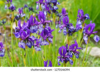Iris sibirica many violet flowers in garden
