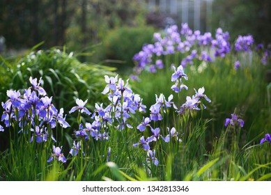 Iris sibirica (Siberian iris or Siberian flag) i