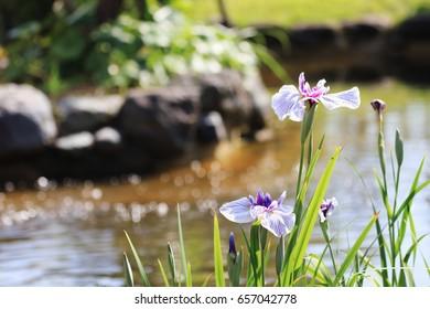 iris at the waterside