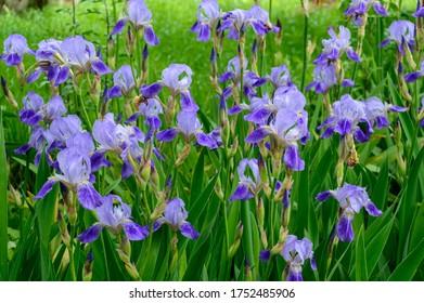 Irises flowers. Multiple Purple irises on green background of grss and leaves.