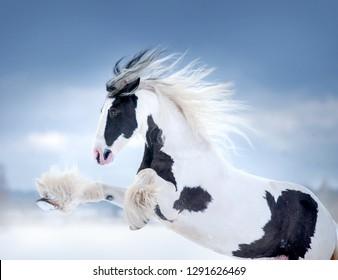 irish cob mare rearing portrait in winter meadow