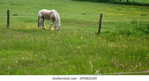 Irish Cob in the pasture. South Bohemia, Czech Republic