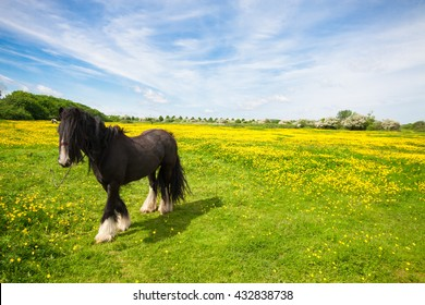 Irish Cob standing in a meadow with a lush green field and blue sky