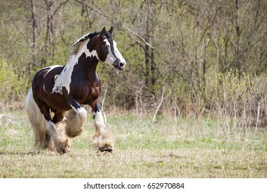 Irish con stallion.