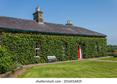 Irish country cottage covered in Ivy