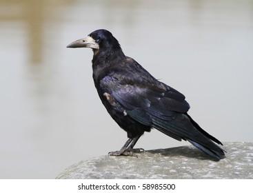 Irish crow portrait