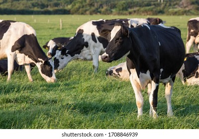 Irish Dairy cows grazing in the evening sun during summer